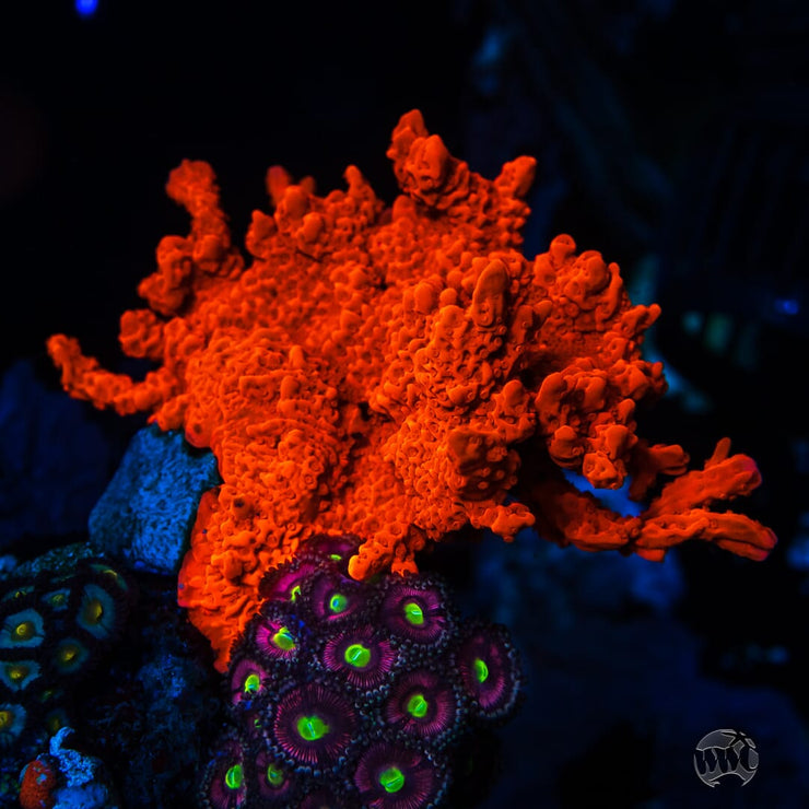 Tyree Setosa Montipora - Mother Colony