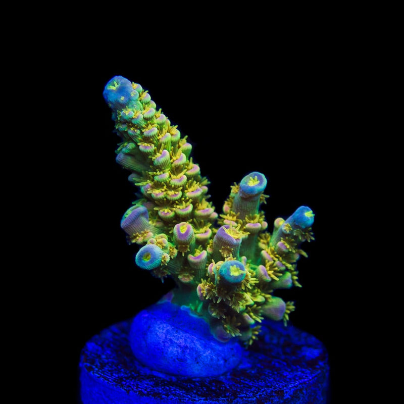 Walt Disney Acropora LG - Actinic Photo