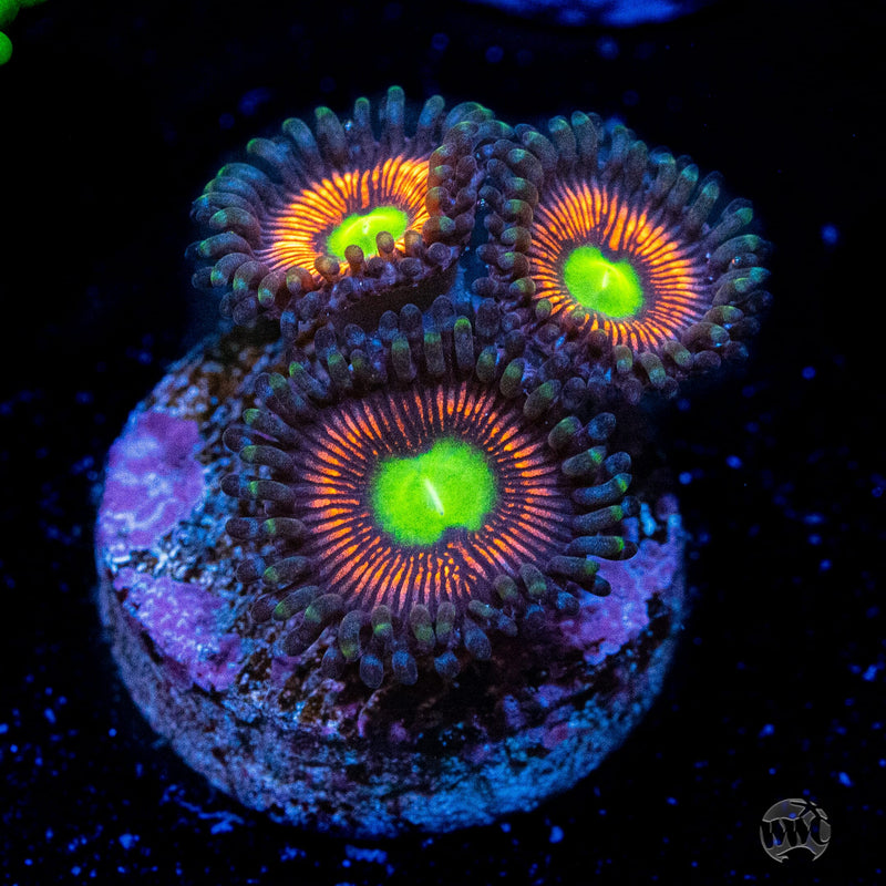 Everlasting Gobstoppers Zoanthids - Actinic Photo