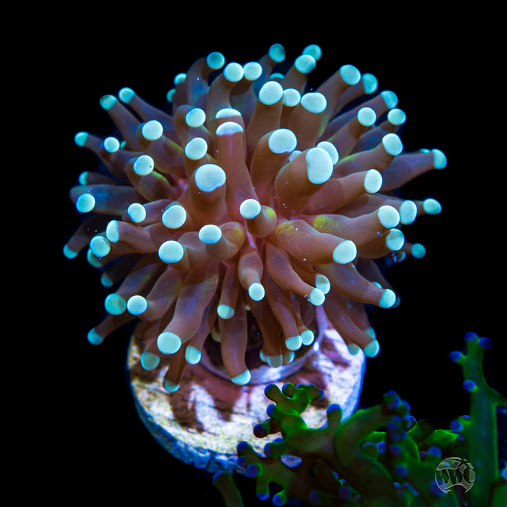 Teal Tipped Cristata Torch Coral - Daylight Photo