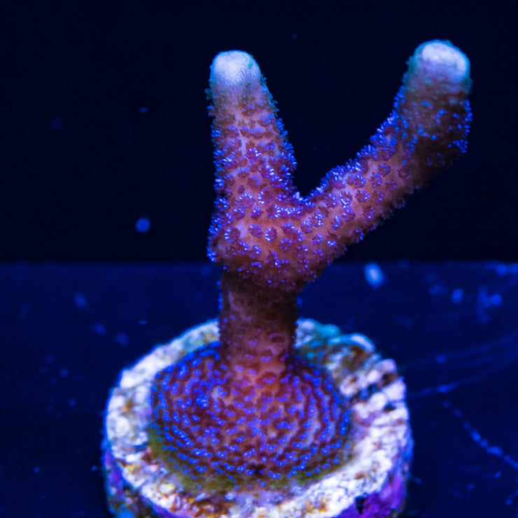 ORA German Blue Digitata Montipora