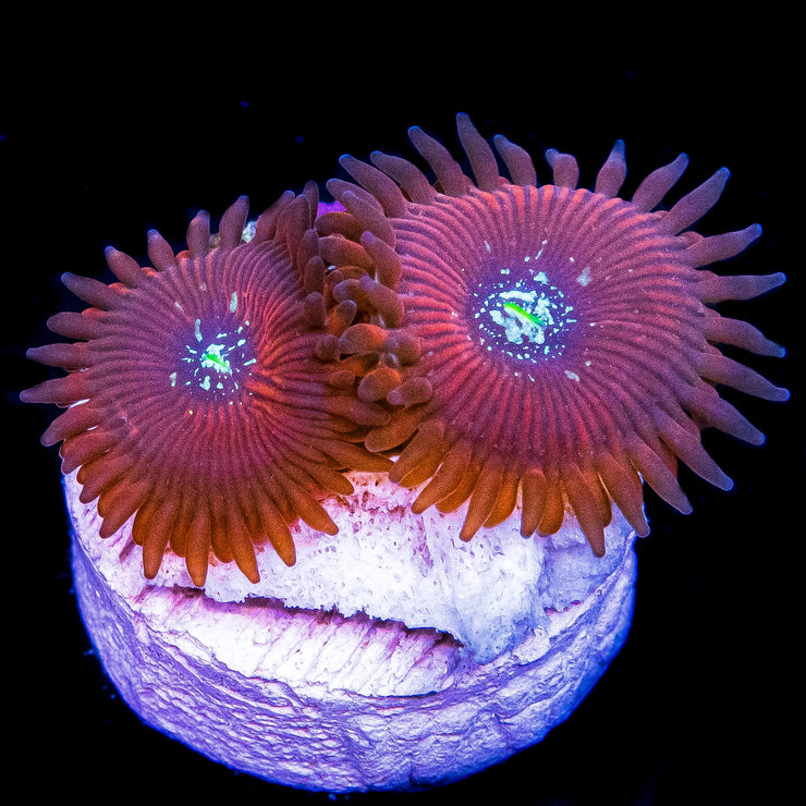 Magician Zoanthids - Daylight Photo