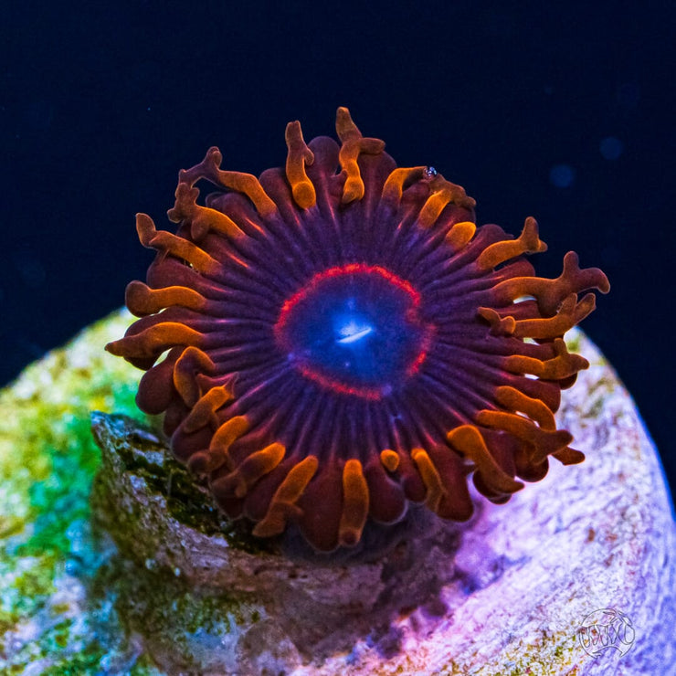 Red Hornet Zoanthids - Daylight Photo
