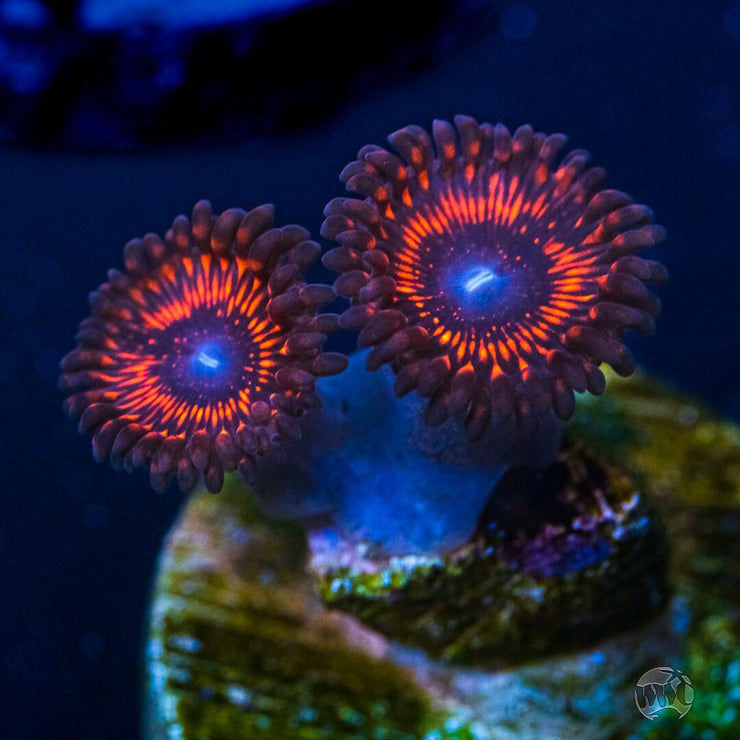 WWC Illuminati Zoanthids - Daylight Photo