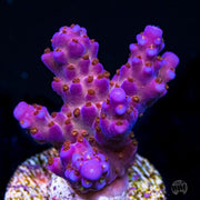 WWC Allstar Acropora - Daylight Photo