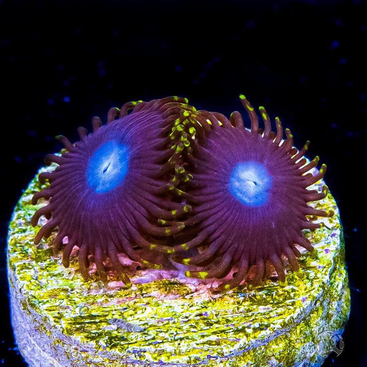 WWC Crown Royal Zoanthids - Daylight Photo