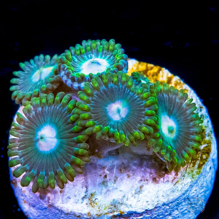 Frosted Dragon Zoanthids - Daylight Photo