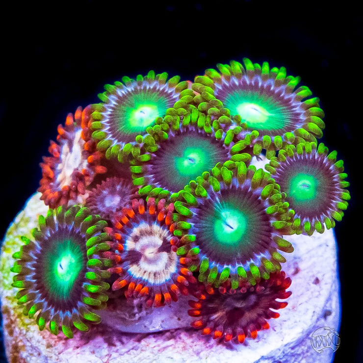 Radioactive Dragon Eye Combo Zoanthids - Daylight Photo