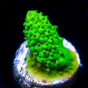 WWC Green Mile Acropora - Daylight Photo