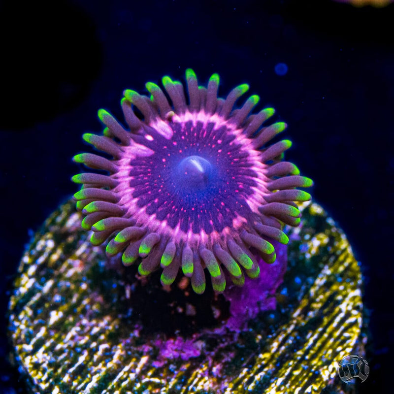 WWC Taser Zoanthids - Daylight Photo