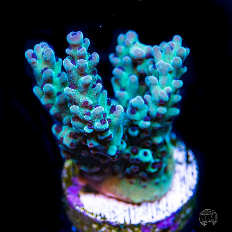 WWC Blueberry Acropora - Daylight Photo