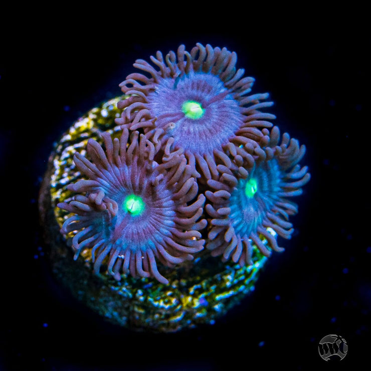 WWC Watermelon Zoanthids - Daylight Photo