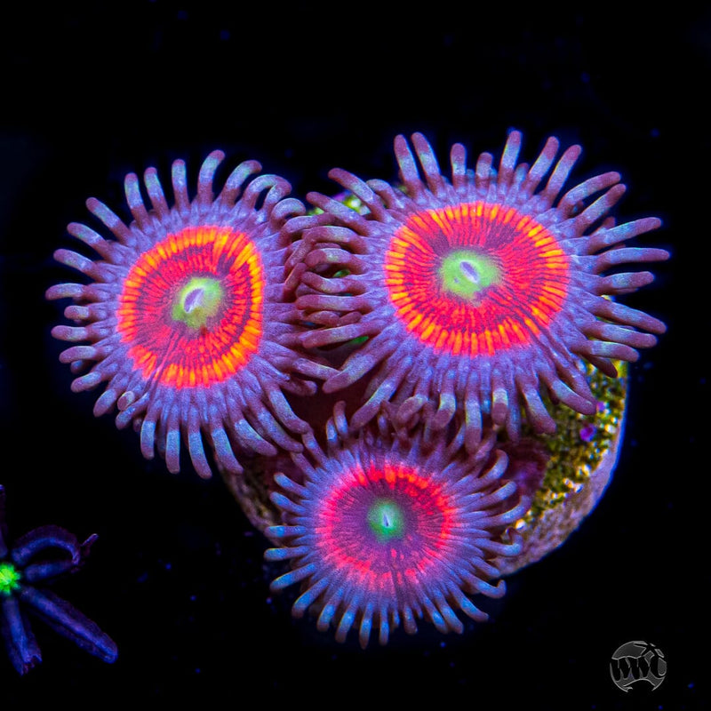 Everlasting Gobstopper Zoanthids - Daylight Photo