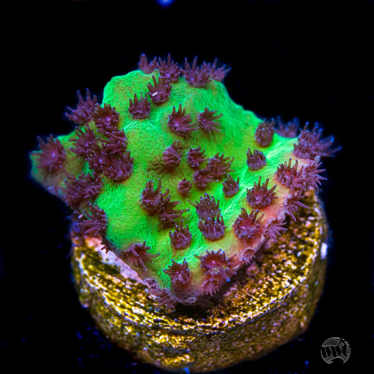 WWC Purple Polyp Turbinaria - Daylight Photo