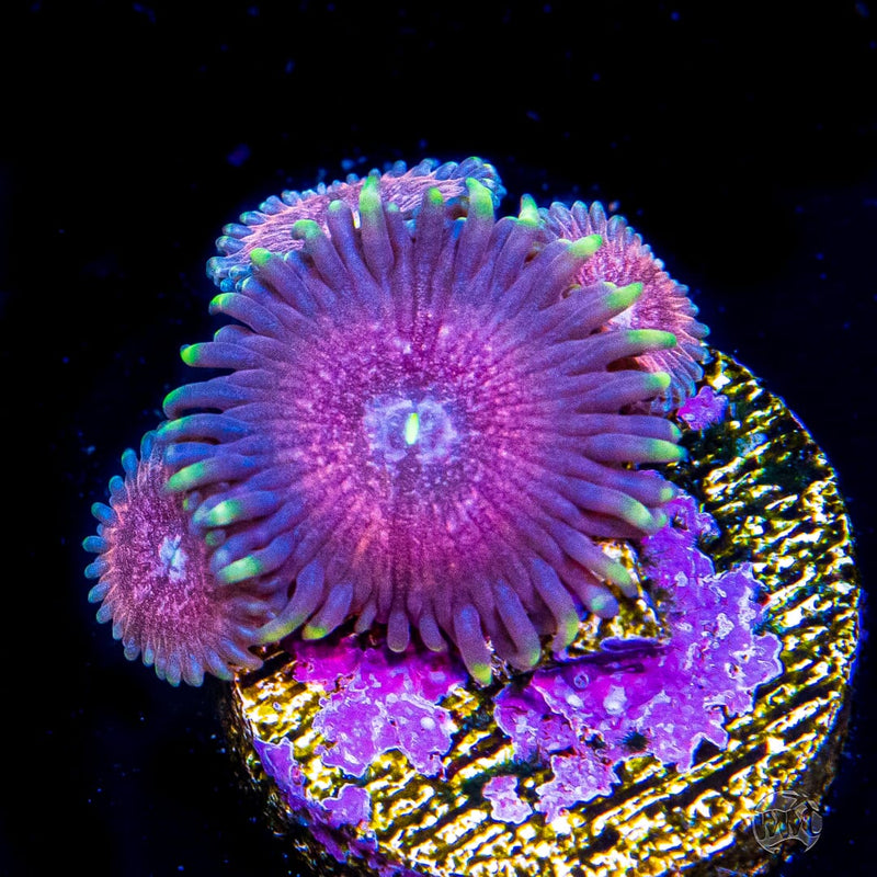 WWC Himalayan Pink Zoanthids - Daylight Photo