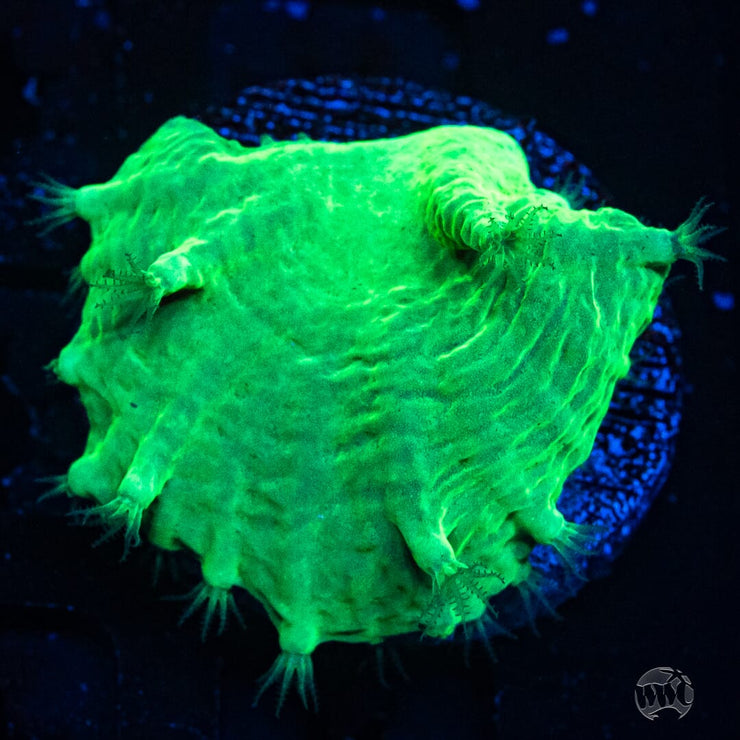 WWC Neon Cabbage Leather - Actinic Photo
