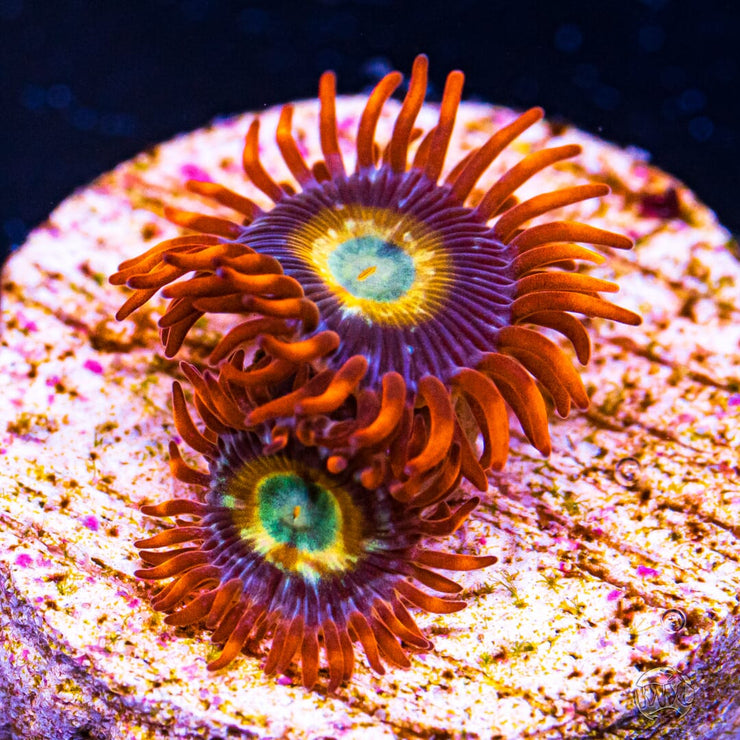 WWC Blondies Zoanthids - Daylight Photo