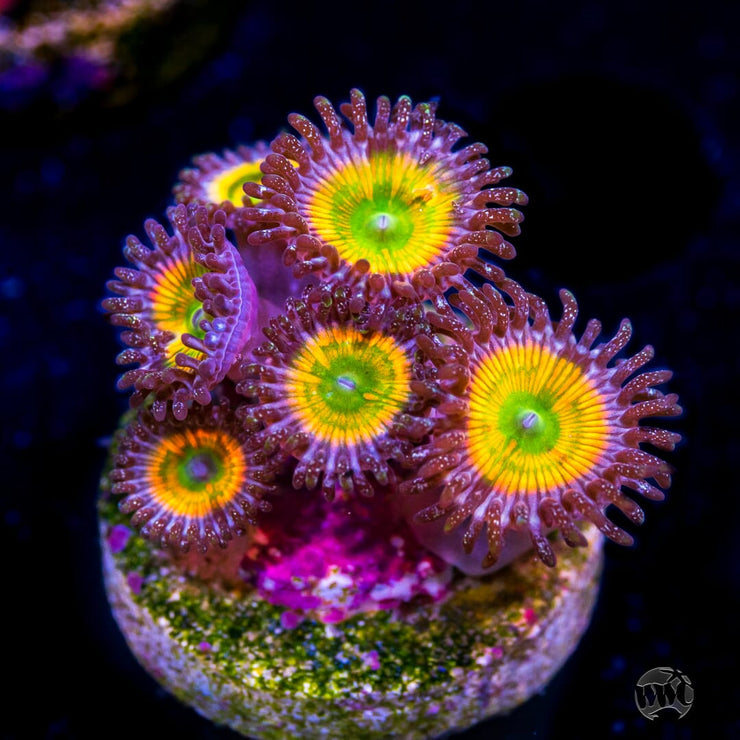 Sunny D Zoanthids - Daylight Photo