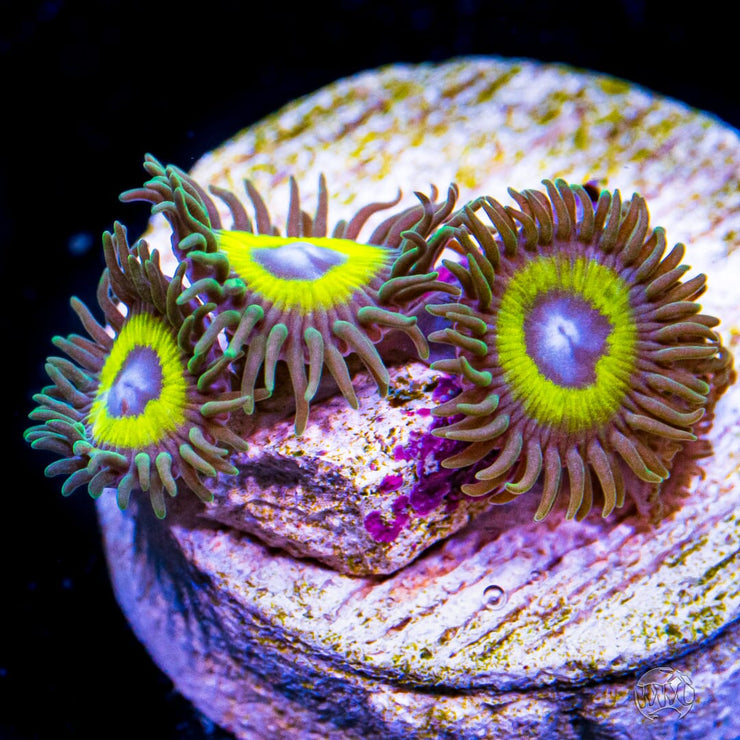 WWC Yellow Submarine Zoanthids - Daylight Photo