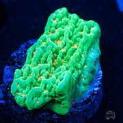 Tequila Sunrise Montipora - Actinic Photo