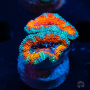 WWC Rainbow Implosion Aussie Lord - Actinic Photo