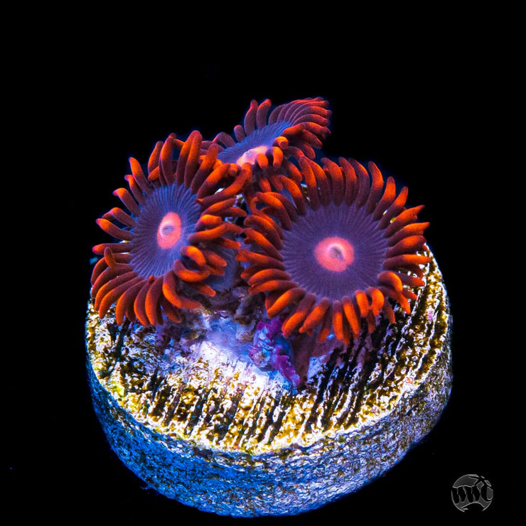 My Clementine Zoanthids - Daylight Photo