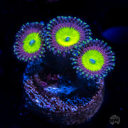 Candy Apple Purple Zoanthids - Actinic Photo