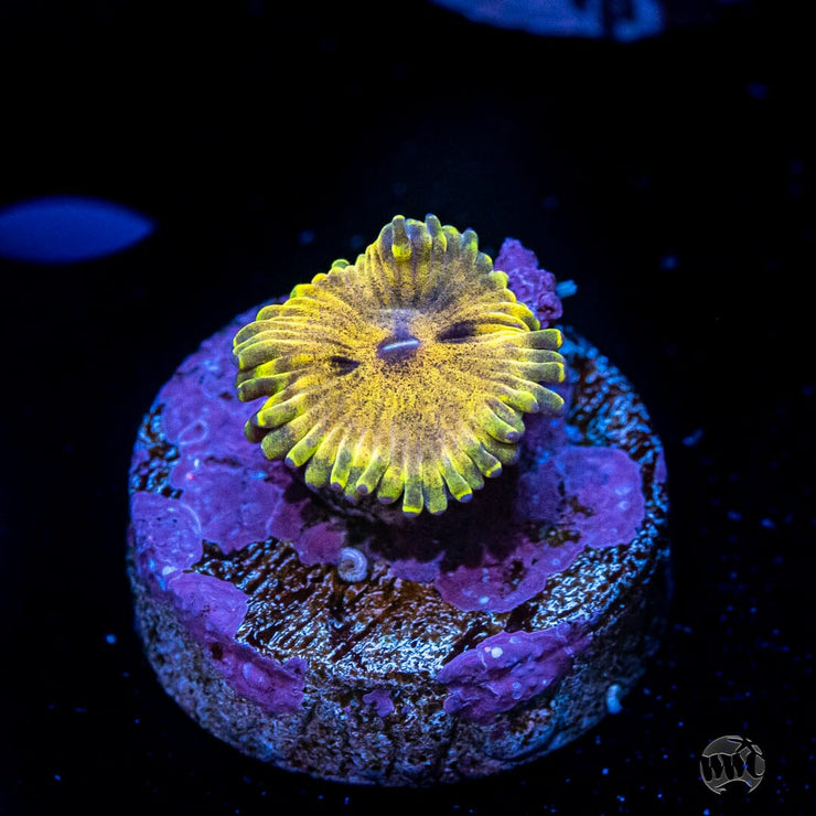 Golden Maul Zoanthid - Actinic Photo
