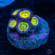 Sunny Ds Zoanthids - Actinic Photo