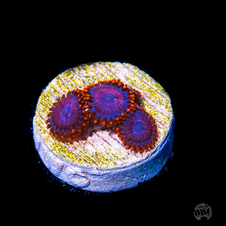 WWC Twizzler Zoanthids - Daylight Photo