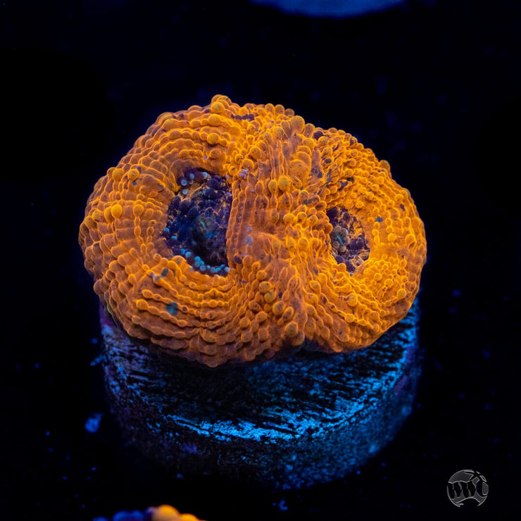 WWC Agent Orange Echinata - Actinic Photo