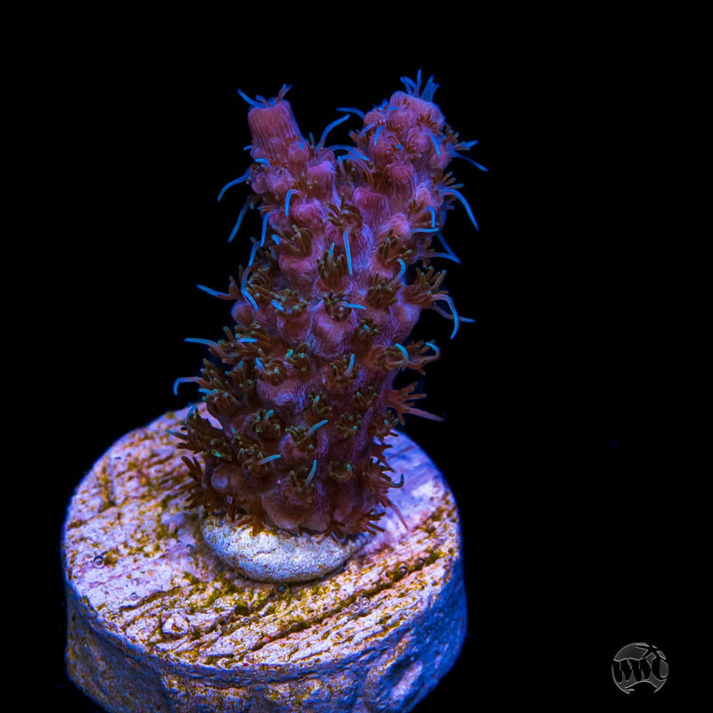 WWC Grizzly Adams Acropora - Daylight Photo