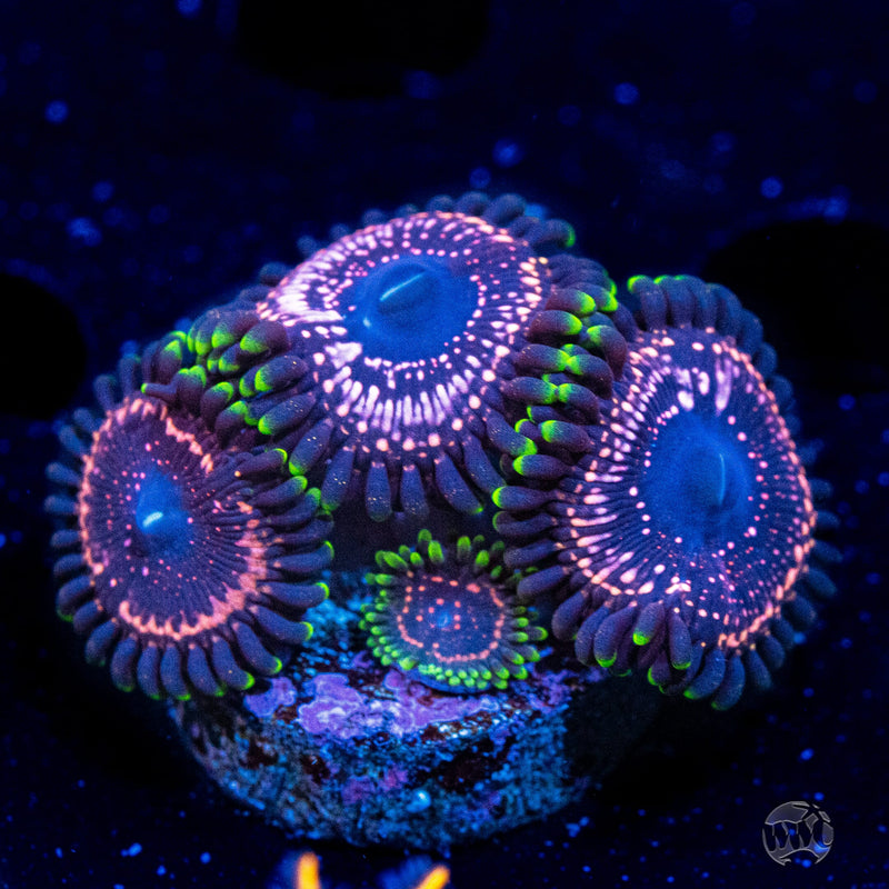 WWC Taser Zoanthids - Actinic Photo