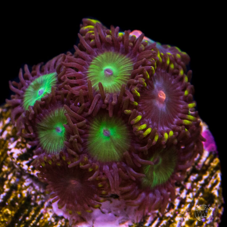 Mean Green Zoanthids Combo