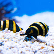 Bumblebee Snail Lot Pricing