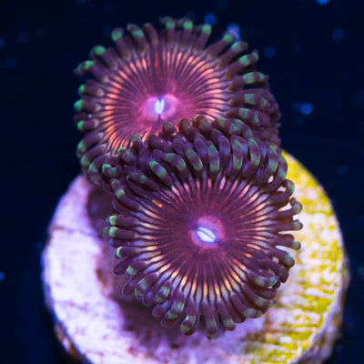 WWC Peachy Kings Zoanthids