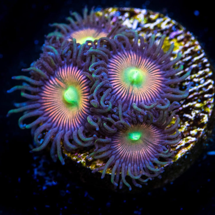 WWC Eye of Rah Zoanthids