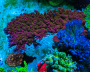 WWC Jello Shot Acropora - Mother Colony
