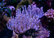 WWC Night Rider Acropora - Mother Colony