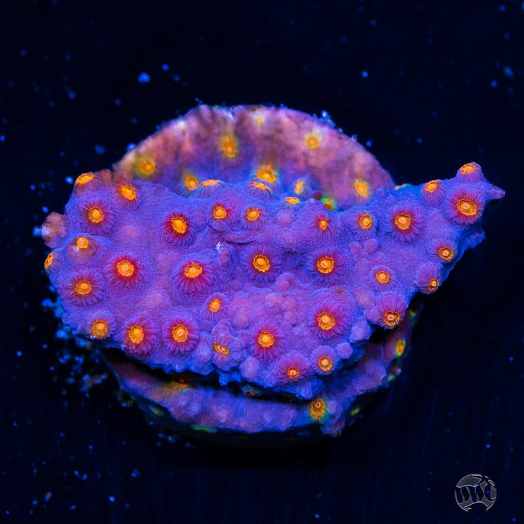WWC Rainbow Madness Cyphastrea
