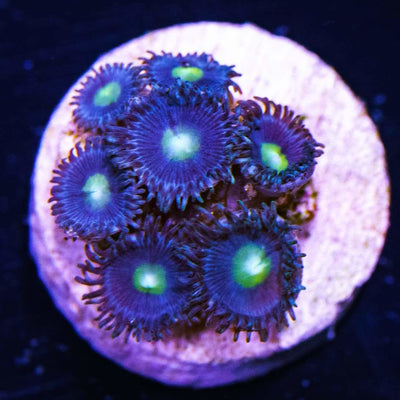 WWC Star Trail Zoanthids
