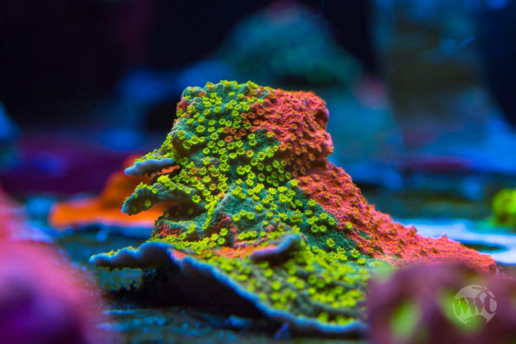 WWC Grafted Sunfire Montipora - Mother Colony