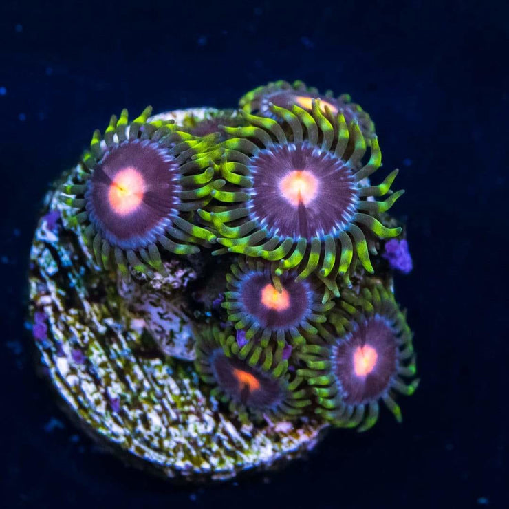WWC Sweet Tooth Zoanthids