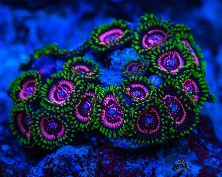 WWC Taser Zoanthids - Mother Colony