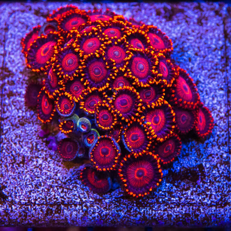 WWC Twizzler Zoanthids - Mother Colony