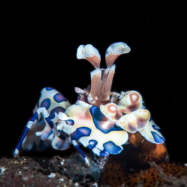 Harlequin Shrimp - Daylight Photo