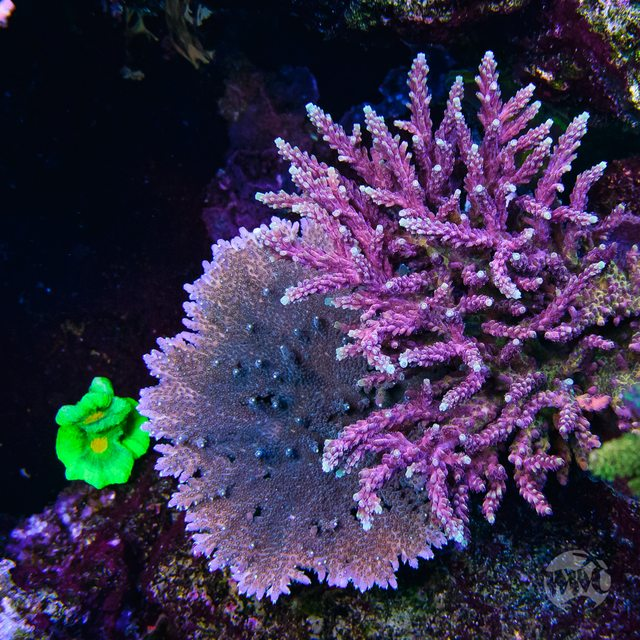 WWC Terra Red Acropora - Mother Colony