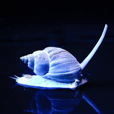 Nassarius Snail - Daylight Photo
