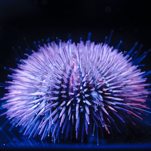 Pincushion Urchin - Daylight Photo