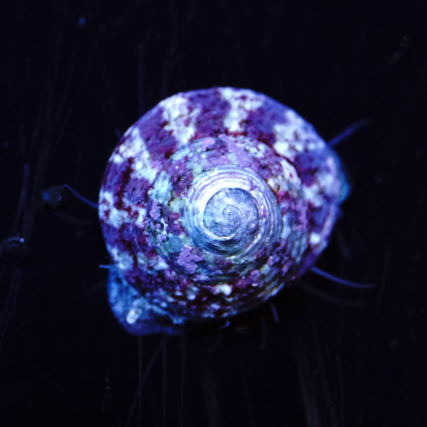 Trochus Snail - Daylight Photo